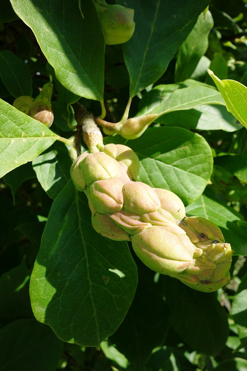 Magnolia de Soulange - fruits